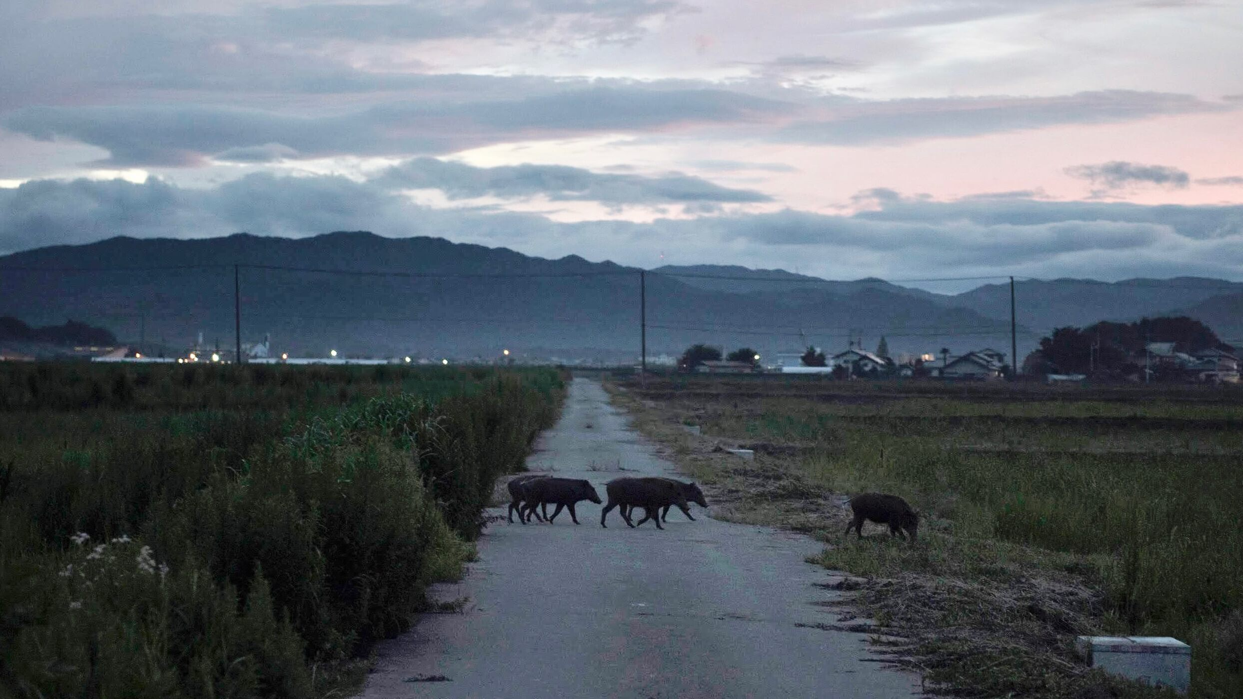The Toxic Pigs of Fukushima Credit Valparaiso Pictures